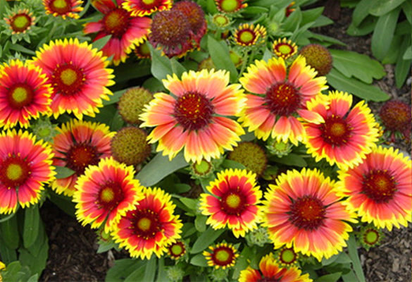 Andrews greenhouse a shady hill studios website arizona sun abundance of 4 inch diameter bright yellow and red flowers dwarf uniform habit june august all american selections winner 1 mightylinksfo