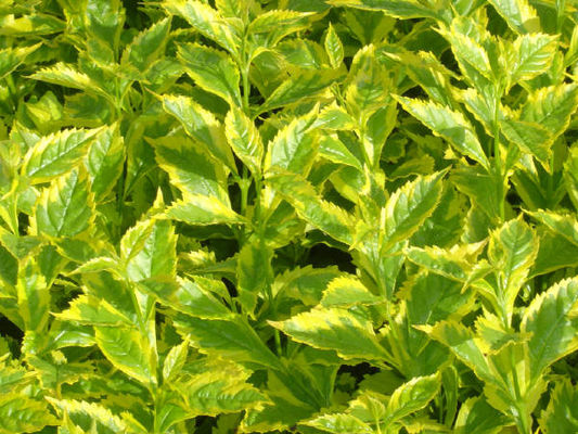 Aurea Gold Edge One Of Those Rare Chartreuse Foliage Plants For Full Sun Glossy Green Leaves Are Thickly Edged In Bright