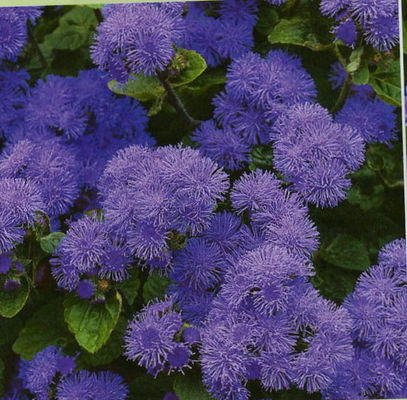 Artist Blue Soft Or Deep Violet Purple Flowers A Vegetative Variety That Is More Uniform And Consistently Than Seed Grown Varieties