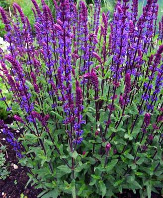Andrews greenhouse a shady hill studios website carradonna from germany a long blooming violet purple salvia with glowing purple stems a taller habit 24 36 blooms late spring early summer and mightylinksfo