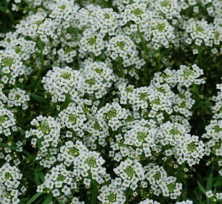 Andrews greenhouse a shady hill studios website white stream plant this sweet smelling alyssum in containers hanging baskets or as a ground cover a heat lover fast growing display of profuse dainty mightylinksfo