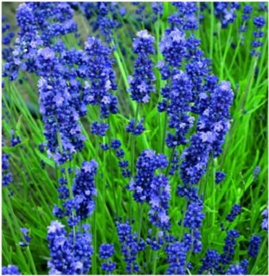 Blue Lavender Recipes — Dishmaps