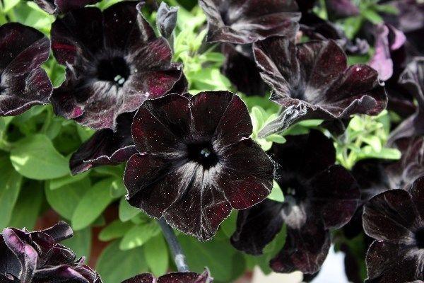 Resultado de imagen de black petunia mix arrangements